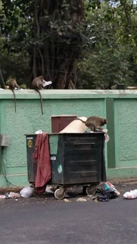 Earlier Monkeys in Bharathi Park